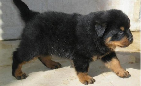72486291_1-Pictures-of-Pedigreed-Rottweiler-Puppies-from-Best-Show-Lines (2)