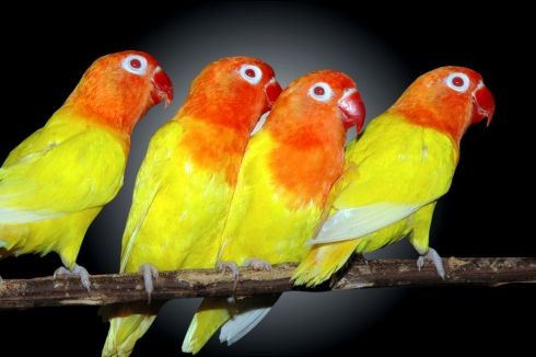 Lutino_orange_and_peach_faced-lovebirds-1239698208