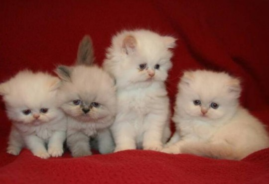 persian teacup kittens